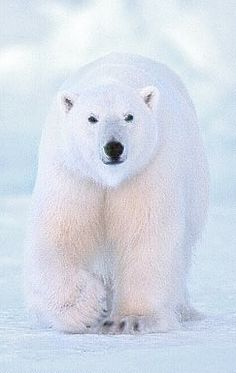 Polar bear. I think we have similar environmental preferences. ;)