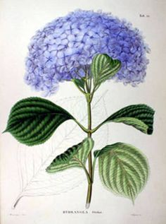 Hydrangea Purple | #Vintage Fine #Art Prints | #GalleryDirect
