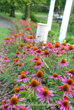 'Pica Bella' Coneflower are small and prolific.