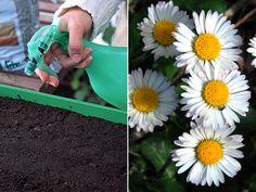 Comment+semer+les+graines+de+pâquerette+? Bellis Perennis, Planters, Garden, Compost, Plants
