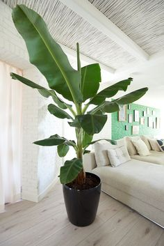 Banana Plant Houseplant – Taking Care Of A Banana Tree Inside Big Indoor Plants, Indoor Trees, Big Plants, Green Plants, Tropical Plants, Indoor Garden, Home And Garden, Banana Plant Indoor, Banana Plants