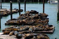 Pier 39 (sea lion hangout) in San Francisco, California #sealions #California