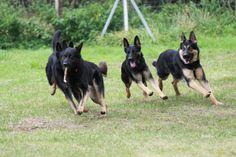 http://www.schäferhunde-welpen-schäferhund-züchter.de/s/cc_images/cache_2428022679.jpg?t=1349897278