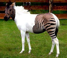 """zebrao zebra misturado com cavalo: Sabia que é possível misturar zebras com cavalos ou até mesmo com jumentos? Esses """"zebróides"""" se têm o corpo semelhante ao do cavalo ou jumento, mas têm listras de zebra. As listras normalmente não cobrem o corpo inteiro do animal, e podem aparecer apenas nas pernas ou espalhadas em partes do corpo e do pescoço. Dependendo da mistura feita, eles têm nomes diferentes, como """"zebralo"""", ou """"cavabra""""."""
