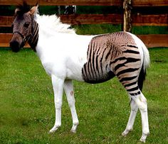 "Zorse: Cross between a zebra and a horse. Paint horses don't pick up color in their white areas, hence the zebra stripes are only picked up in the paint's ""color zones""."
