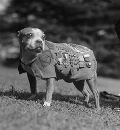 SGT. Stubby Sgt. Stubby earned his stripes the old fashioned way,through battle. The Boston Terrier was smuggled to the European Theatre during World War I and served with the 102nd Infantry, performing a number of invaluable tasks. His sensitive nose could detect mustard gas before humans, he warned his battalion of incoming mustard gas attacks and he once allegedly caught a German spy by the seat of his pants. By the end of the war, he had won dozens of medals.