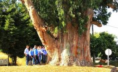 The Eucalyptus Contige is a giant tree and as the name suggests it is a eucalyptus tree, specifically a Eucalyptus globus Labill. Measures circumference, approximately one inch of soil, more than a dozen meters and has more than one hundred years. It is the largest tree of Portugal.