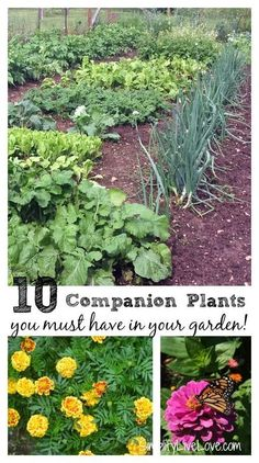 Companion plants support growth, attract beneficial insects, & deter pests. Do you know which companion plants you must have in your vegetable garden!?: