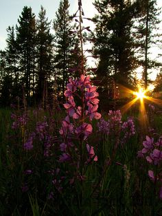 Fireweed Sunset (From the Archives)