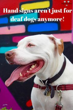 How & Why I Taught My Hearing Dgs Hand Sins..and why you should too! #deafdogs #signlanguage #ASL
