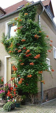 Privacy Vines - (American) Trumpet Vines Creeper - Summary #gardenvineshouse