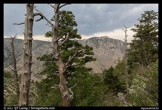 Pine trees, Pine Springs Canyon, cloudy weather. Guadalupe Mountains National Park, Texas, USA.