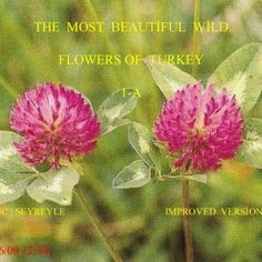THE MOST BEAUTİFUL WİLD FLOWERS OF TURKEY 1-A MUSİC : SEYREYLE IMPROVED VERSİON 29/06/09 12:34   Erdoğan Tekin Erdogan Tekin was born in Salihli in 1938.. http://slidehot.com/resources/improved_version_of_the_most_beautiful_wild_flowers_of_turkey_1_a-pps.56344/