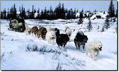Canadian Culture   Sled Dog Central - The Canadian Eskimo Dog
