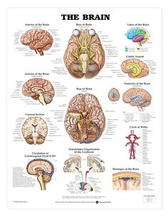 The brain anatomy chart shows the cerebral hemispheres, lobes of the brain, and various views of the arteries of the brain. Description from anatomystuff.co.uk. I searched for this on bing.com/images