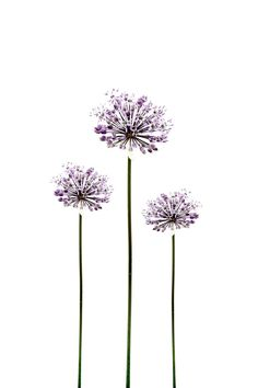 Botanical Flower Photography Allium Purple Minimalist Garden