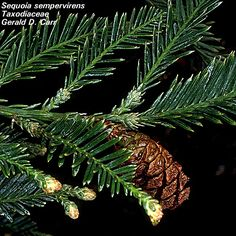 Sequoia sempervirens Sequoia Sempervirens, Fall Plants, Autumn Garden, Garden Ideas, Plant Leaves, Packaging, Landscaping Ideas, Wrapping, Backyard Ideas