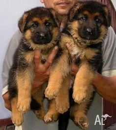 german shepherd puppies perth   Zoe Fans Blog