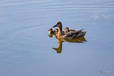 Eenden familie