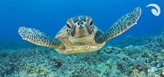 #Turtles #Nicaragua #ExperienceTurtles Meet me in Nicaragua! Nicaragua's beaches are home to four species of sea turtles, the hawksbills, olive ridleys, leatherbacks, and greens and they are found in waters off both coasts in both the Pacific Ocean and the Caribbean Sea.  #Tortugas Conocer las tortugas de Nicaragua! Se puede encontrar 4 especies de tortugas en las playas aquí (mar de pacífico y caribe).