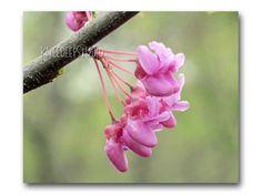Pink Floral Photo Redbud Flowers on Branch by KneeDeepOriginals