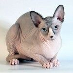 You can call it the Sphynx, the most famous hairless cat breed in the world. Originating in Canada in 1966 when a single hairless kitten named Prune was born. Hairless Kitten, Siamese Cats, Kitten Names, Cat Names, Cat Medicine, Best Tents For Camping, Devon Rex, Cat Garden, Domestic Cat
