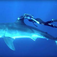 El sueño de muchas chicas es nadar con delfines. Esta buceadora parece preferir los tiburones, aterradores y magníficos al mismo tiempo. #belleza #delfines #océano #tiburón #aterrador #buceadora http://www.pandabuzz.com/es/video-del-dia/mujer-nada-con-tiburon