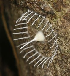 Researchers to an expedition to the rainforest in the Southern Peruvian Amazon have spotted, what appears to be a mysterious new cocoon. The cocoon is unlike anything biologists have seen upon before, strongly suggesting a hitherto undiscovered new species.