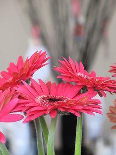 gerbera daisies! <3