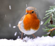 European robin - this one's got a fantastic deep orange breast!