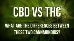 """CBD and THC are both cannabinoids, chemical compounds that interact with receptors in our brain and body to produce a variety of responses ranging from pain relief to the feeling of being """"high. Buy Cannabis Seeds, Cannabis Growing, Autoflowering Seeds, Seeds Online, Seed Bank, Mother Plant, Marijuana Plants, Nutrition, Alternative Treatments"""