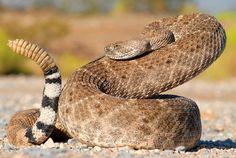 Western Diamond-backed Rattlesnake - Crotalus atrox: Photo by Orry Martin!