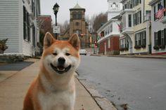 Hachi :Chico (adult Hachi):Japanese Akita Inu , Male Dog