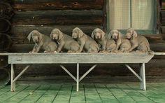 half dozen weimaraner puppies