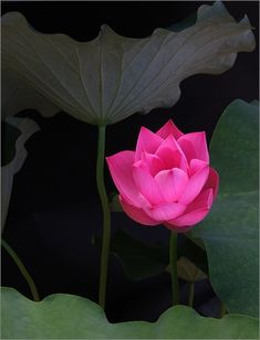 https://flic.kr/p/51HXjr | Lotus Flower IMG_5186 | Lotus Flower: Red For the best visual impact please view this image on the black background. Thanks