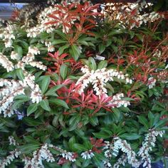 OnlinePlantCenter 2 gal. Mountain Fire Andromeda Shrub-P107515 - The Home Depot