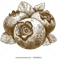 Vector engraving drawing antique illustration of blueberry with leafs isolated on white background