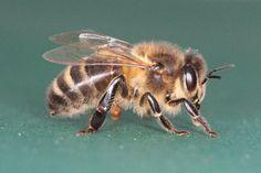 Black Honey Bee