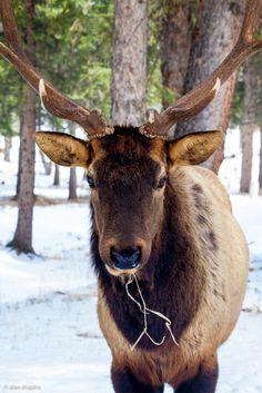 Close encounter with a Bull Elk    (like 3 feet away)