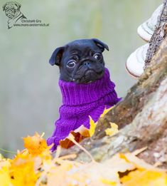 pugs in clothes!