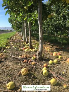 13 apple growing secrets from the pro's. These guys know how to get maximum production and bigger better apples. Here is how they do it