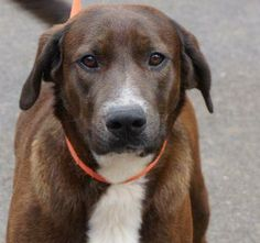 Gone  Meet HERSHEL a Petfinder adoptable Chocolate Labrador Retriever Dog | Sevierville, TN | While Labrador Retrievers are often high energy doggies, Hershel is the exception.  His very laid...