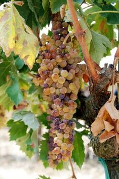 Mangiare uva in Toscana - cielo dolce oh! (Eat Grapes in Tuscany - oh sweet heaven!)