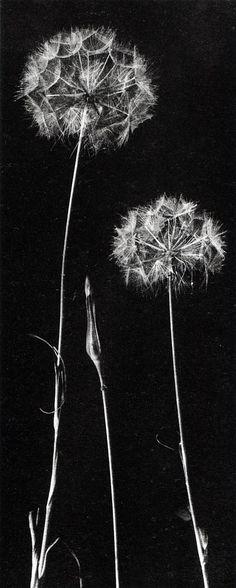 """Frederick H Evans - Dandelions 1910 - J'ai toujours dit que le tragopogon était un """"/!/""""$ de pissenlits..."""