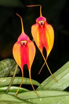 Orquídeas raras