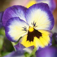 AEFS167. Pensamiento, Pansy, Viola tricolor
