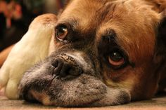 Love this sweet old boxers face....so sweet