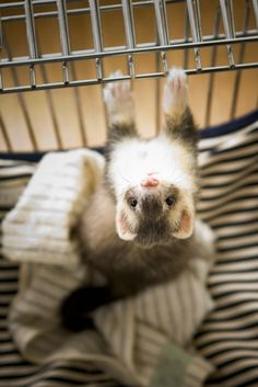 upside down ferret Ferrets Care, Baby Ferrets, Funny Ferrets, Pet Ferret, Dog Cat, Chinchilla, Cute Baby Animals, Animals And Pets, Funny Animals
