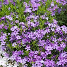 Purple Beauty is a true gem in the spring garden with gorgeous, bright purple blooms that are sweetly fragrant. This Creeping Phlox is drought-tolerant and deer-resistant, making very versatile in the sunny garden. (Phlox subulata)