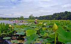 The American Lotus at Mattawoman Creek. Photo by Dom J. (DJ) Manalo.